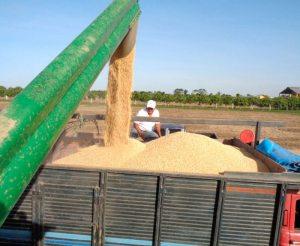 Gobierno aprobó semilla de soya HB4 420.000 hectáreas serán deforestadas para producir etanol y biodiésel